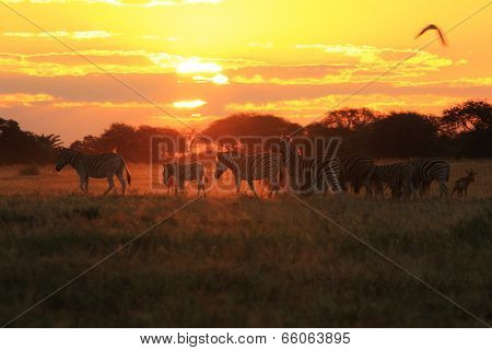 Zebra - African Wildlife Background - Sunset Gold and Freedom