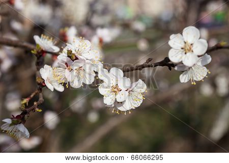 White Flowers Of The Cherry Tree