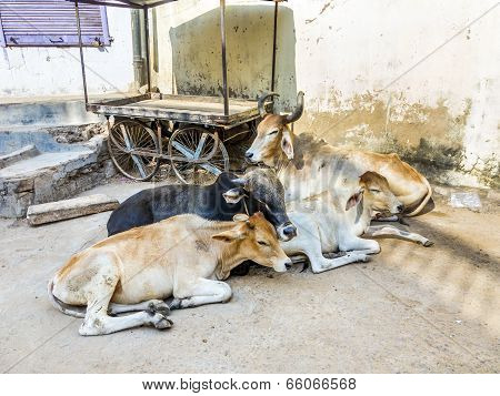 Cows Resting In The Midday Heat At The Street