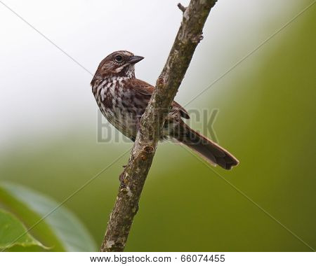 Watchful Song Sparrow