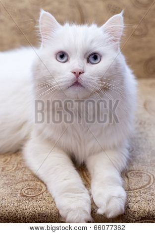 White Cat On  Couch