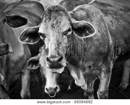 Black And White Picture Add Grain Of Thailand Cattle - Tak Breed Cows