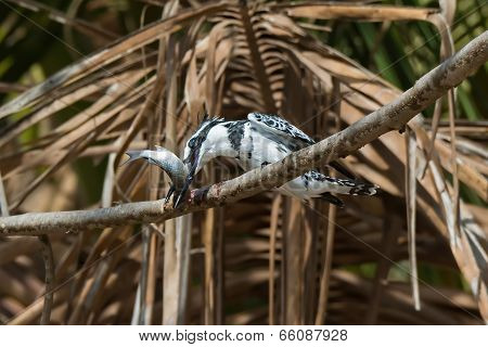 Pied Kingfisher (ceryle Rudis) Giving His Fish A Whacking