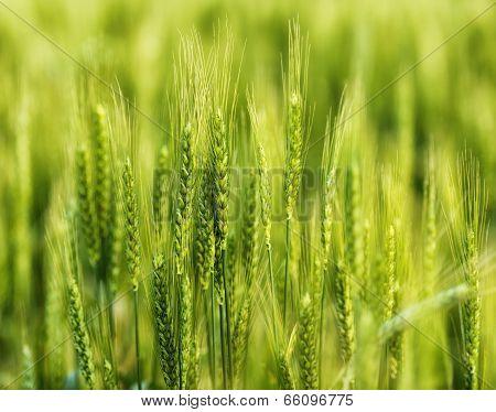 Green Wheat In The Field.