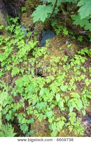 Ferns And Underbrush