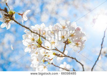 Sakura cherry Blossoms with sun beam