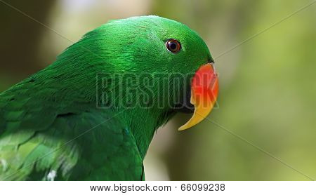 Portrait view of an adult male Eclectus Parrot