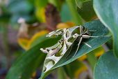 stock photo of moth  - Oleander Hawk - JPG