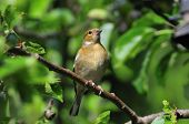 foto of sun perch  - Female Chaffinch perched on a branch of my apple tree at the bottom of my garden - JPG