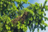 foto of swarm  - big bee swarm on green spruce tree - JPG