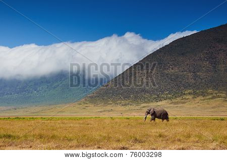 Large Male Elephant Walking In The Savannah