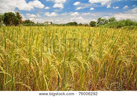Ripe Paddy Rice Field At Harvest