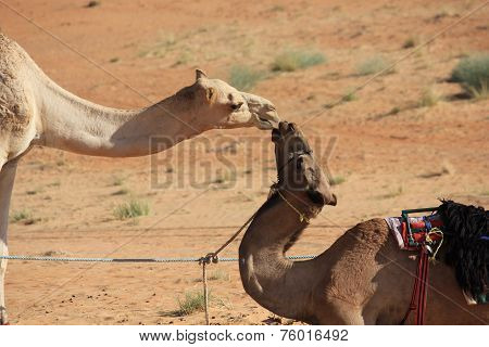 Kiss Between Two Camels