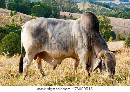 Big Zebu