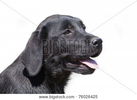 Isolated Labrador Retriever