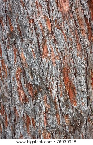 Old Pine Tree Bark