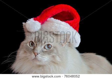 Christmas Ragdoll