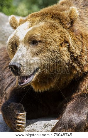 carnivore, brown bear, majestic and powerful animal