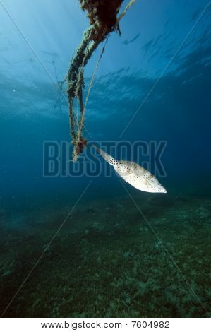 Scrawled Filefish And Ocean