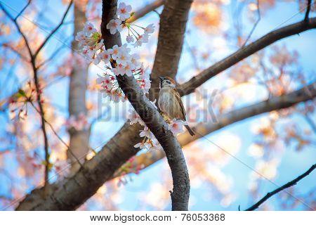 Bird On Sakura Tree In Garden, Tokyo Japan