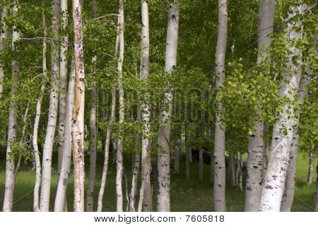 Birch trees, Dixie National Forest, Utah