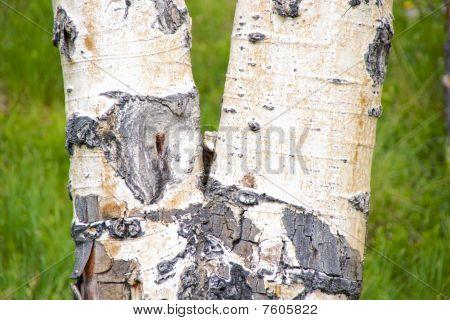 Close-up of a birch tree bark