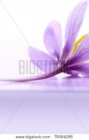 Close up of saffron flower