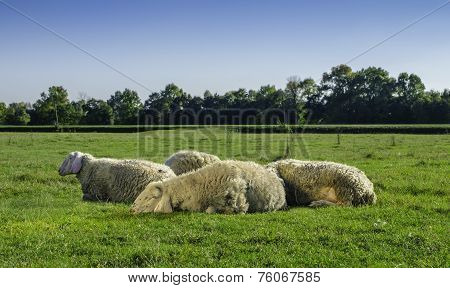 Young Sheep Lying With Flock