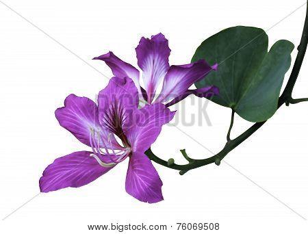Bauhinia Purpurea L. Flower