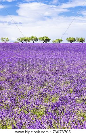 Vertical View Of Beautiful Lavender Field