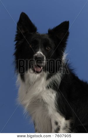 Dog Portrait on Blue Background