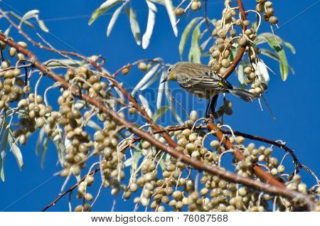 Yellow-rumped Warbler And A Feast Of Berries