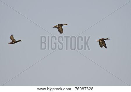 Three American Wigeons Flying In Blue Sky