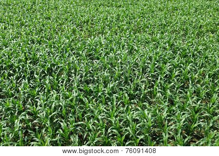 early stage cornfield plantation