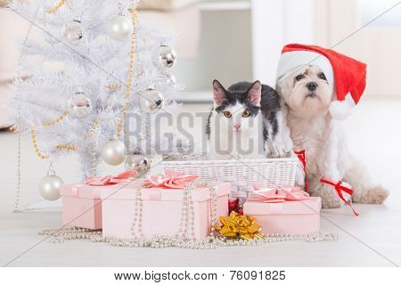 Cat and cute little dog Maltese sitting with gifts near Christmas tree wearing Santa Claus hat