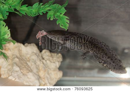 Axolotl Eats Meat