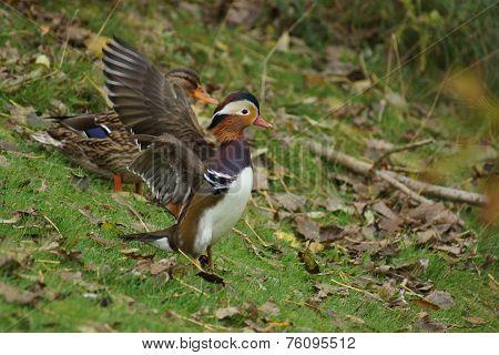 Mandarin Duck - Aix Galericulata