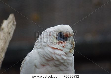 Slender-billed Corella - Cacatua tenuirostris