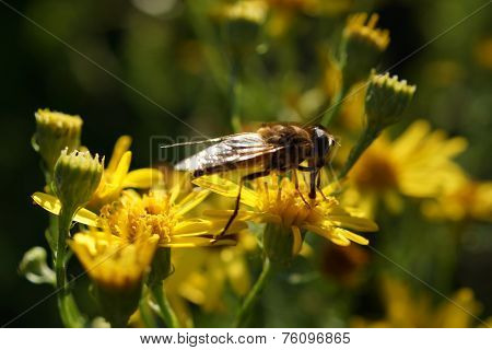 Solitary Bee On Yellow Flowers