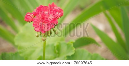 Spring Flowers Pink Geranium