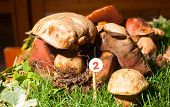 picture of agaricus  - Close up of the mushroom Agaricus essettei - JPG