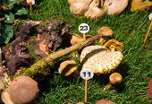 stock photo of agaricus  - Close up of the mushroom Agaricus porphyrizon - JPG