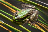 foto of wart  - Green frog with warts in the swamp close - JPG