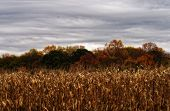 picture of corn stalk  - A landscape image in the midst of the fall season showing harvested corn stalks - JPG