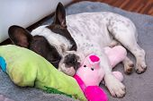 image of french bulldog puppy  - French bulldog puppy sleeping on the pillow with toy - JPG