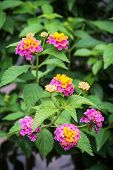 stock photo of lantana  - Lantana camara also known as big sage  - JPG
