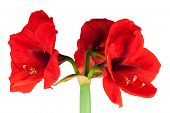 pic of belladonna  - Red Amaryllis isolated in front of white background - JPG