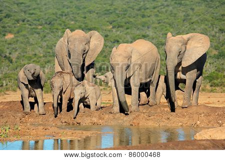 Family of African elephants (Loxodonta africana) at a waterhole, Addo Elephant National Park, South Africa
