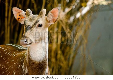 Chital Is Deer