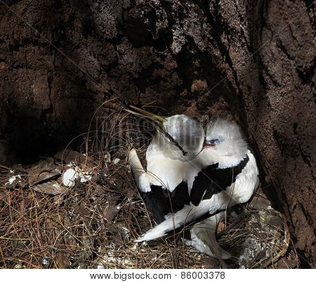 White-tailed tropicbird with its chick in the nest.